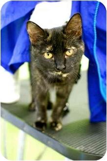 Domestic Shorthair Cat for adoption in Fairmount, Georgia - Butterbrickle