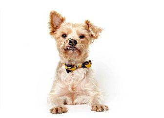 Yorkie, Yorkshire Terrier Mix Dog for adoption in New York, New York - Gareth