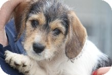 Jack Russell Terrier/Beagle Mix Puppy for adoption in Russellville, Kentucky - Sissy