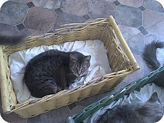 Domestic Shorthair Cat for adoption in Sherman Oaks, California - Franchesca