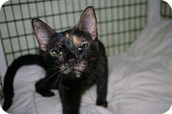 Domestic Shorthair Cat for adoption in Brooksville, Florida - Sasha