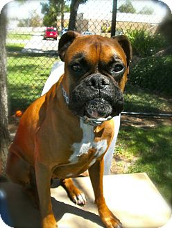 Boxer Dog for adoption in El Cajon, California - Choco