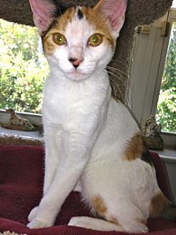 Domestic Shorthair Kitten for adoption in Miami, Florida - Kloe