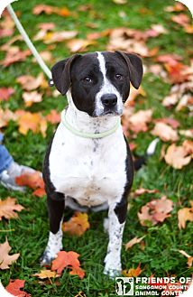 Cattle Dog/Border Collie Mix Dog for adoption in Springfield, Illinois - Jada