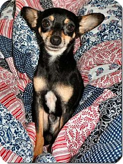 Chihuahua Mix Dog for adoption in Salem, New Hampshire - JOEY