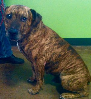 American Pit Bull Terrier Mix Dog for adoption in Van Alstyne, Texas - Diesel (Lil'D)