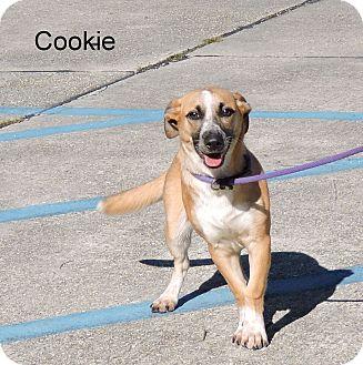 Corgi/Terrier (Unknown Type, Medium) Mix Dog for adoption in Slidell, Louisiana - Cookie