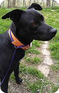 Labrador Retriever Mix Dog for adoption in Jarrell, Texas - Marshall Dillon