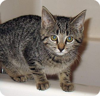 Domestic Shorthair Kitten for adoption in Queensbury, New York - Felicity