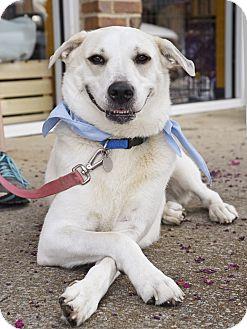 Labrador Retriever/Husky Mix Dog for adoption in Nashville, Tennessee - Daisy