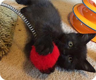 Domestic Mediumhair Kitten for adoption in Meridian, Idaho - Meg