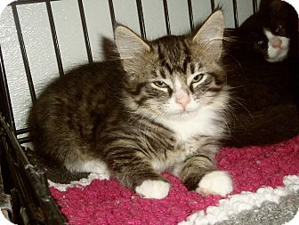 Maine Coon Kitten for adoption in Medford, Wisconsin - ALESSANDRA