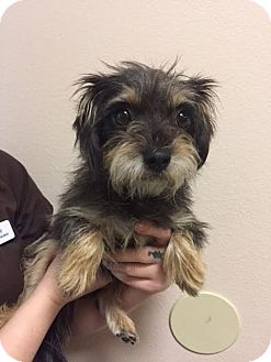 Schnauzer (Miniature)/Chihuahua Mix Dog for adoption in Westminster, California - Binx