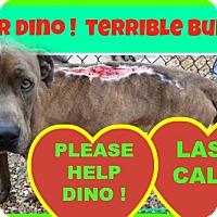 Adopt A Pet :: Dino - HIALEAH, FL