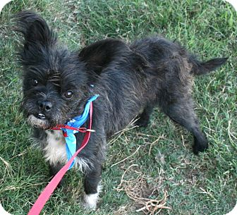 Cairn Terrier Mix Dog for adoption in Pilot Point, Texas - York