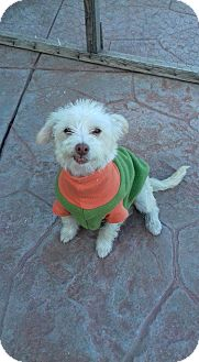 Maltese/Terrier (Unknown Type, Small) Mix Puppy for adoption in San Diego, California - Bambino