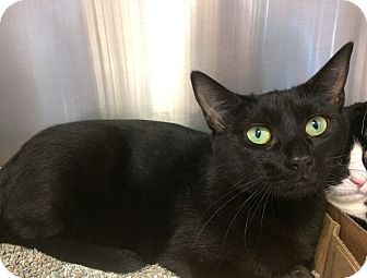 Domestic Shorthair Cat for adoption in East Brunswick, New Jersey - Maggie