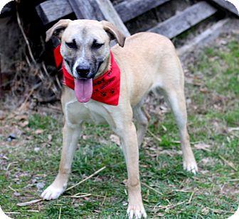 Australian Shepherd/Labrador Retriever Mix Puppy for adoption in Dalton, Georgia - Janie