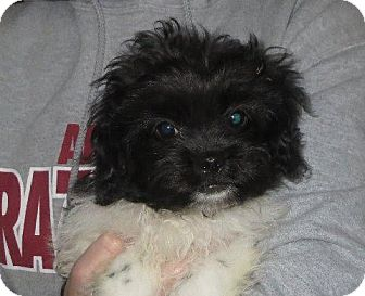 Poodle (Miniature)/Pekingese Mix Puppy for adoption in Westport, Connecticut - Edgar