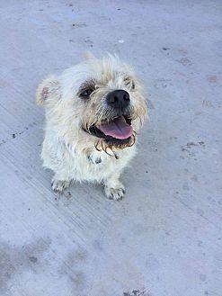 Cairn Terrier/Shih Tzu Mix Dog for adoption in Brownsville, Texas - Elroy