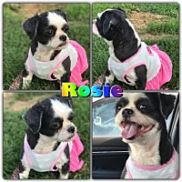 Adopt A Pet :: ROSIE - Lexington, KY