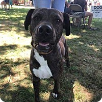 Pit Bull Terrier Mix Dog for adoption in Newport, Kentucky - Rubin