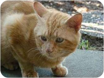 Domestic Shorthair Cat for adoption in Cincinnati, Ohio - Little Orange
