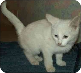 Domestic Shorthair Kitten for adoption in North Judson, Indiana - Blanca