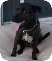 Labrador Retriever Mix Dog for adoption in Gilbert, Arizona - Mia