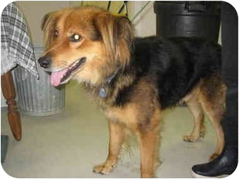 Shepherd (Unknown Type)/Collie Mix Dog for adoption in Plymouth, Massachusetts - Happy