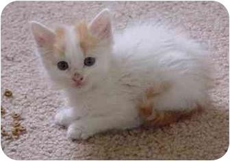 Domestic Longhair Cat for adoption in Colorado Springs, Colorado - Nibble