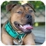 Photo 1 - American Staffordshire Terrier/American Pit Bull Terrier Mix Puppy for adoption in Tampa, Florida - Poncho
