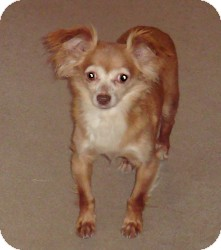 Chihuahua Dog for adoption in Manahawkin, New Jersey - Angel *Adopted