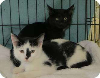 Domestic Shorthair Kitten for adoption in Merrifield, Virginia - Desmond & Daniel