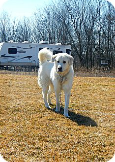 Akbash/Kuvasz Mix Dog for adoption in Caledon, Ontario - Ivan