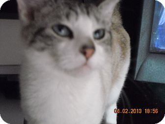 Siamese Cat for adoption in Riverside, Rhode Island - Victoria
