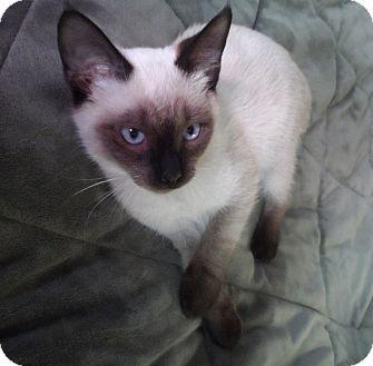 Siamese Kitten for adoption in Corona, California - OLIVER