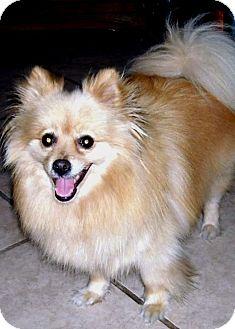 Pomeranian Dog for adoption in Lodi, California - Summer