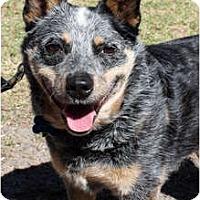 Adopt A Pet :: Isabella - Siler City, NC