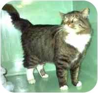 Domestic Longhair Cat for adoption in Port Hope, Ontario - Arthur