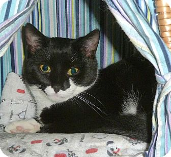 Domestic Shorthair Cat for adoption in Carmel, New York - Grape