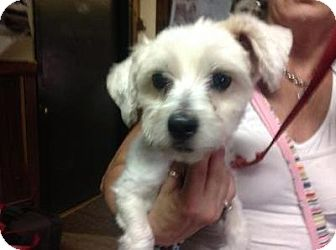Maltese/Poodle (Miniature) Mix Dog for adoption in Bronx, New York - Coco