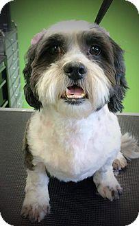 Shih Tzu/Poodle (Miniature) Mix Dog for adoption in Woodland Hills, California - Savannah Bee