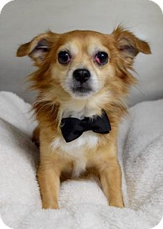 Chihuahua Mix Dog for adoption in Dublin, California - Coco