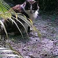 Domestic Longhair Cat for adoption in Naples, Florida - Sqeaker