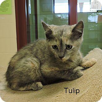 Domestic Shorthair Kitten for adoption in Slidell, Louisiana - Tulip