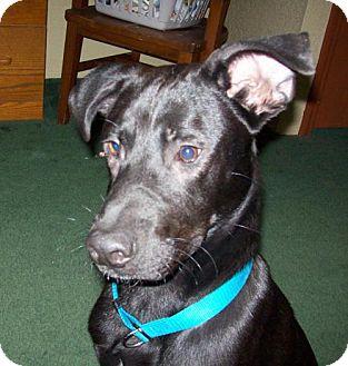 Labrador Retriever/Whippet Mix Dog for adoption in Von Ormy, Texas - Caesar
