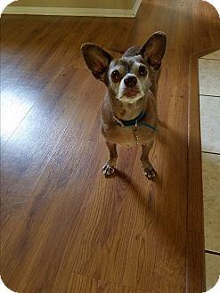 Chihuahua Mix Dog for adoption in San Dimas, California - Gracie