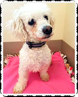 Poodle (Miniature) Mix Dog for adoption in Beverly Hills, California - Milania