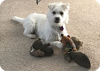 Wirehaired Fox Terrier Mix Dog for adoption in Manhattan, Kansas - Chance